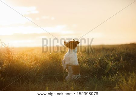 Dog Jack Russell Terrier in a field at sunrise