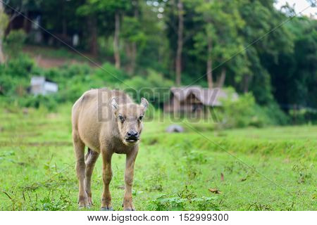 Young buffalo in fields are looking at photographer in Maewang Chiang Mai Thailand.