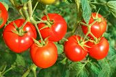 Big Ripe Red Tomato Fruits Close-up poster