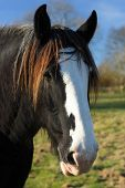 picture of shire horse  - Beautiful shire or draft horses head with a clear blue sky in a field - JPG