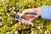 Pruning a bright green variegated bush with secateurs or shears.