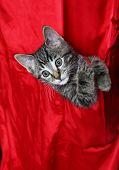 Red Silk Tabby