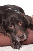 stock photo of dog eye  - Very sad looking old labrador - JPG