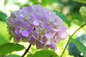 Hydrangea, also known as Hortensia. poster