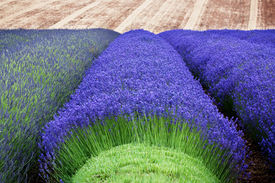 foto of lavender field  - Rows of lavender growing in a field with some harvested - JPG