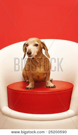 dachshund sitting on a red pouf