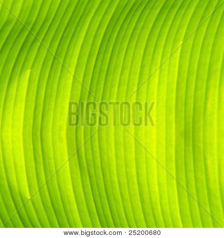 Fresh Green Banana Leaf Texture