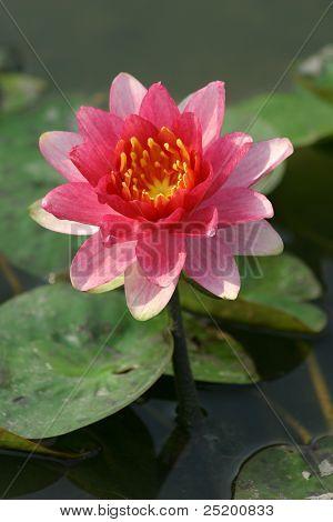 Blossom Lotus Flower.