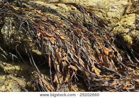 Spiral Wrack Seaweed