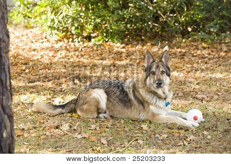 German Shepherd Dog With Toy