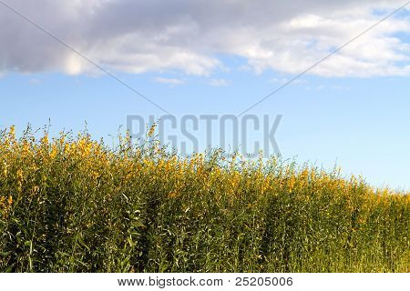 Industrial Hemp Plant Field