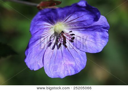 Purple Vinca