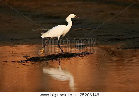 Snowy Egret stalks prey