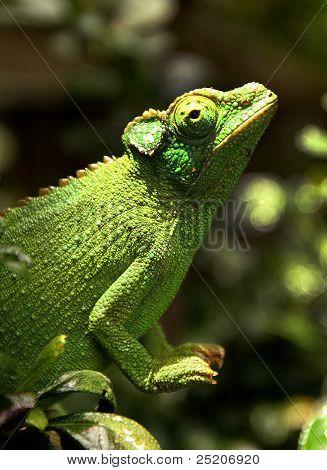 Female Jackson's Chameleon