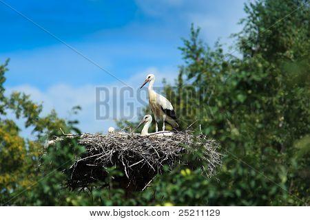 Ciconia Ciconia, Oriental White Stork.