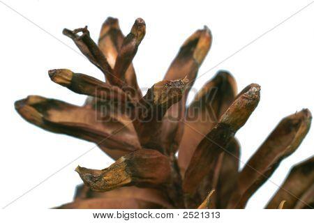 Cedar Cone Macro Image.