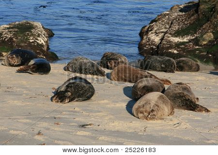Seals lounging on the beach
