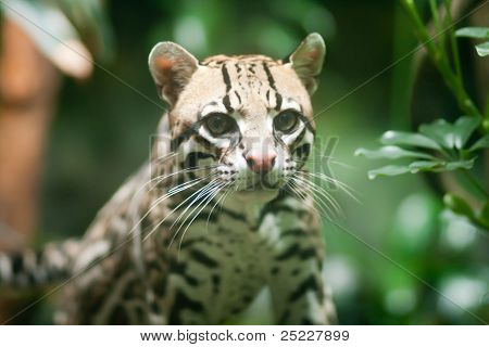 Ocelot at the Seattle Woodland Park Zoo