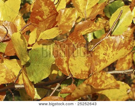 Autumn leaves of the beech