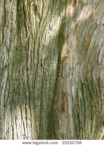 Bark Of Dawn Redwood, Metasequoia