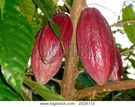 Vaina de cacao
