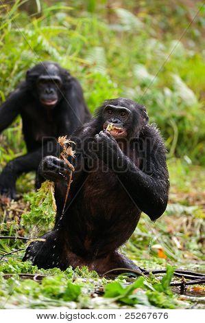 Bonobo In Pond
