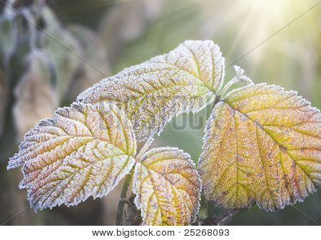 Frozen Leafs Of Plant