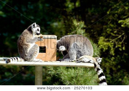 Family Of Lemurs To The Zoo