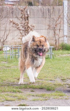 American Akita Adult Dog Living