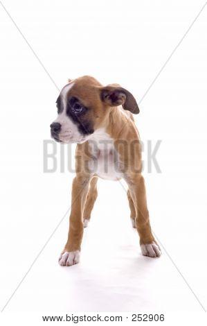 Boxer bonito