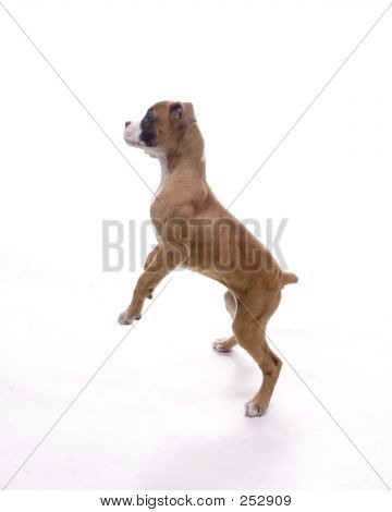 Boxer On Hind Legs