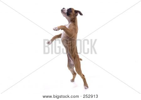 Boxer pé alto
