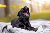 Very Young And Little Black Labrador Retriever Dog Puppy Yawning Outdoors In The Sun poster