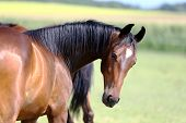 Thoroughbred Youngster Posing On The Green Meadow Summertime. Portrait Of A Purebred Young Horse On  poster