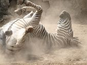 Animals Dust Cloud Horse Wild Animals Wildlife Zebras Zoo Animal poster