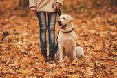Woman And Labrador In Autumn Park. Retriever In Park. Walking With Dog. Pets And People. Best Friend poster