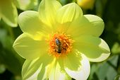 Bee Collects Pollen From Yellow Bloom.bee Pollinates A Yellow Flower.yellow Flower In The Summer Sun poster