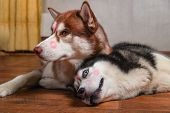 Dogs With Red Lipstick Marks Kiss On His Heads. Siberian Husky Lying On The Floor Side By Side. Conc poster