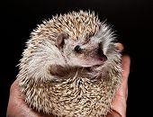 Hedge Hog In Hand