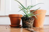Aloe Vera With Roots In Ground Repot To Bigger Clay Pot Indoors. Care Of Plants. Planting Succulent poster