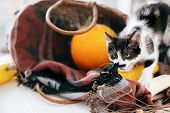 Cute Kitty Walking From   Wicker Basket With Pumpkin And Zucchini In Light On Wooden Background. Kit poster