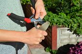 Woman Sharpen Pruning Shears. Gardener Cleaning And Sharpening Garden Tools. poster