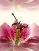 picture of easter lily  - tiger lily abstract - JPG