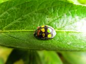 foto of quirk  - A quirky Ladybird beetle with different coloured spots.