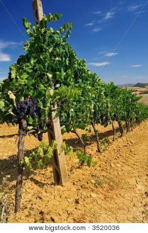 Vineyard 003