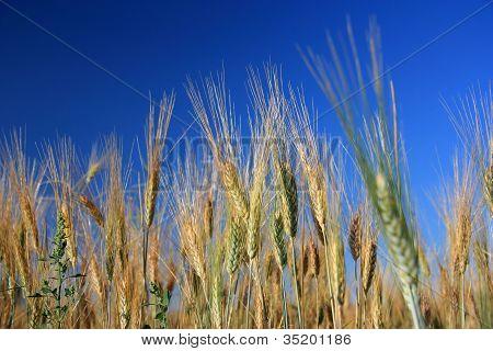 Wheats Over Blue Sky Close Up - Horizontal
