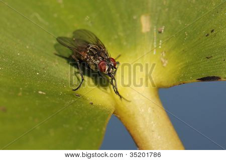 Closeup of a Fly on a Leaf