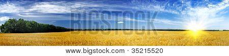 Fine Harvest Of Golden Oats.
