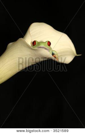 Tree Frog In A Flower