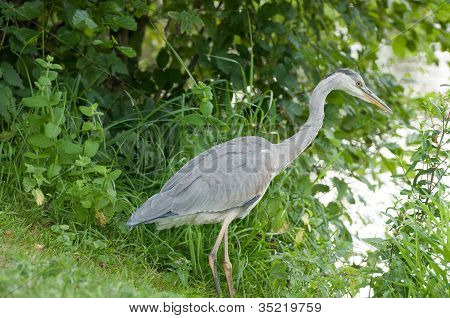 Grey Heron Standing In The River Bank